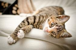 Fieber hat bei Katzen verschiedene Ursachen
