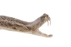 Hebel in der Natur - der Giftzahn einer Schlange