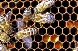 Bienen verständigen sich untereinander.