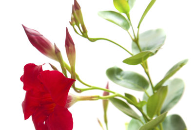 Die Sundaville Red lässt sich über Ableger und Stecklinge vermehren.