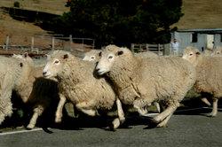 Die Wolle von Schafen wird wegen des Lanolins auch als Heilwolle verwendet.