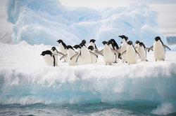 Die meisten Pinguine leben am Südpol.