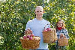 Die ersten Äpfel können schon ab Mitte Juli geerntet werden.