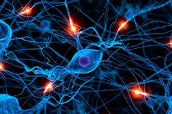 Das zentrale Schaltzentrum der Fliege ist aus tausenden Nervenzellen aufgebaut.