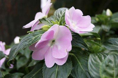 Edellieschen sind blühfreudige und pflegeleichte Zierpflanzen.