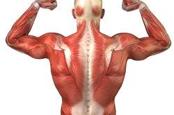 Eine Muskel besteht aus mehreren Muskelfaserbündeln.