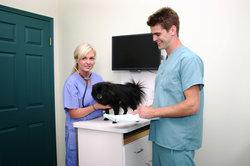 Tierarztassistenten helfen dem Tierarzt.