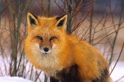 Ein Fuchs ist essbar.