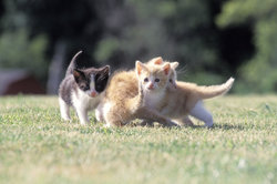 Das weibliche vom männlichen Katzenbaby unterscheiden
