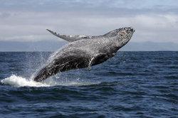 Buckelwal - riesig, aber nicht träge.
