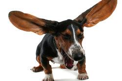Wenn ein Hund länger röchelt - sofort zum Tierarzt.