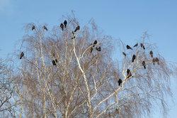 So sieht man sie häufig: Krähen sind gesellige Vögel.