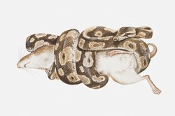 Eine Anaconda schnürt ihrem Opfer die Luft ab.