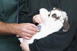 Kaninchen mit Mysomatose vom Tierarzt behandeln lassen