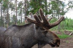 Ein typischer Vertreter der Gattung Elch.
