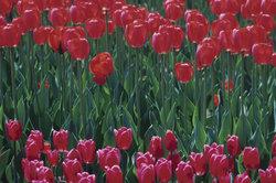 Holländer lieben Vokale und Tulpen.