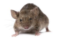 Es gibt natürlich männliche und weibliche Mäuse.