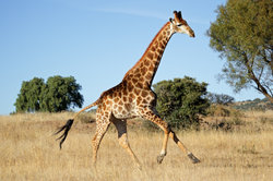 Giraffe - das höchste Säugetier weltweit