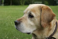 Ein Hund kann eine Allergie auslösen.