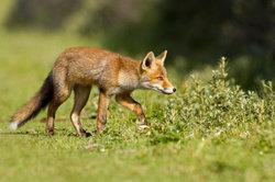 Ein Fuchs auf der Jagd - die Lotka-Volterra Regeln erklären die Dynamik der Räuber-Beute-Beziehung.