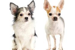 Kleine Hunde ganz groß - der Chihuahua wird zum Modehund.