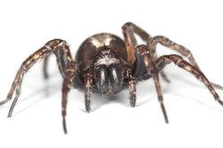 Spinnen können Sie problemlos entfernen.
