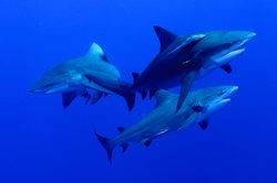 Durch seinen kurzen Kopf ist der Stierhai von anderen Haien zu unterscheiden