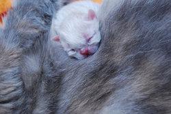 Ein Katzenbaby kurz nach seiner Geburt
