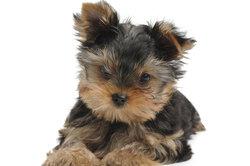 Kleine Yorkshire Terrier sind wirklich putzige Kerlchen.