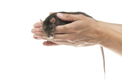Ratten als Haustiere halten