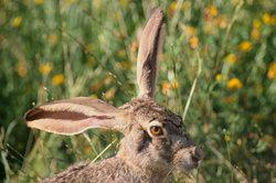 """Ein echter Hase - unter anderem erkennbar an den langen """"Löffeln""""."""