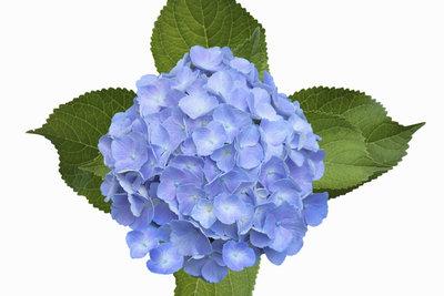 Hortensien verlieren leicht ihre blaue Farbe.