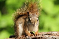 Eichhörnchen - streng artengeschützte Tiere