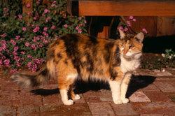 Schildpatt-Katzen mit weißen Abzeichen werden Glückskatzen genannt.