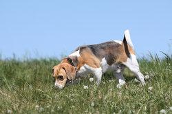 Ein Jagdhund zittert oft vor Aufregung.