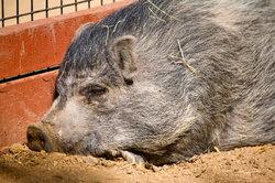 Minischweine müssen artgerecht gehalten werden.