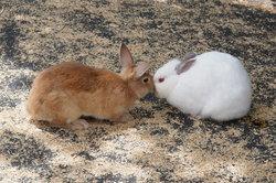 Ein Teilalbino-Kaninchen und ein gesundes Kaninchen.