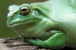 Die Körperbedeckung der Amphibien ist glatt und durchlässig.