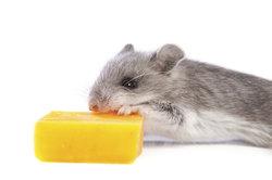 Mäuse mögen gar nicht so gerne Käse - Erdnussbutter ist ihnen viel lieber.
