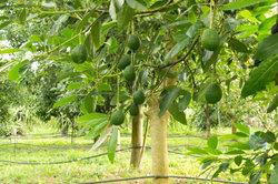 Avocados wachsen auf Bäumen.