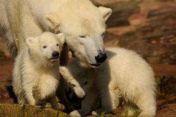 Hinterfragen Sie Theorien zur Händigkeit von Eisbären.