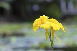 Eine blühende Wasserlilie.