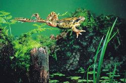 Wie hoch springt ein Frosch?