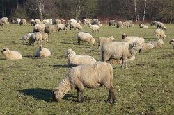 Die Schafhaltung ist nicht immer einfach.