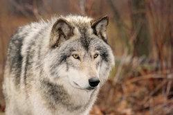 Wölfe - schöne Tiere - leider mit schlechtem Ruf