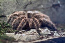Spinne als Haustier muss nicht sein.