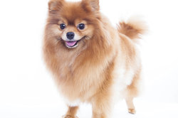 Den Zwergspitz als treuen Familienhund aufziehen