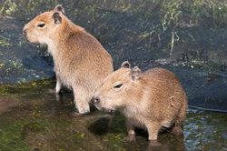 Wasserschweine als Haustiere artgerecht halten