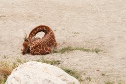 Eine schlafende Giraffe erkennt man am nach hinten gelegten Kopf.