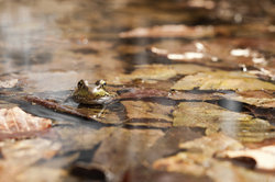 Der Grasfrosch ist hierzulande die häufigste Amphibienart.